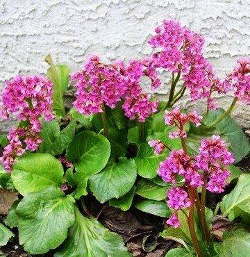 Купить многолетние цветы в саратове розы сорта osiria купить