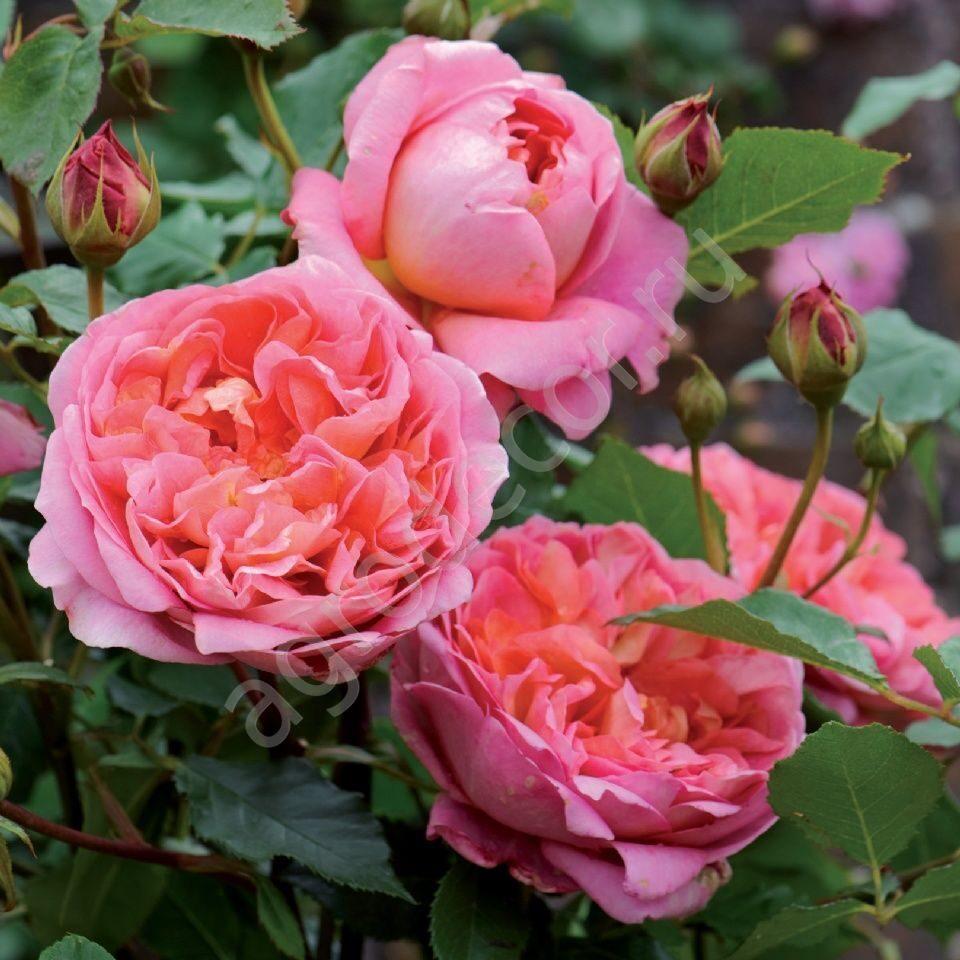 Розы дэвида остина купить саженцы в москве