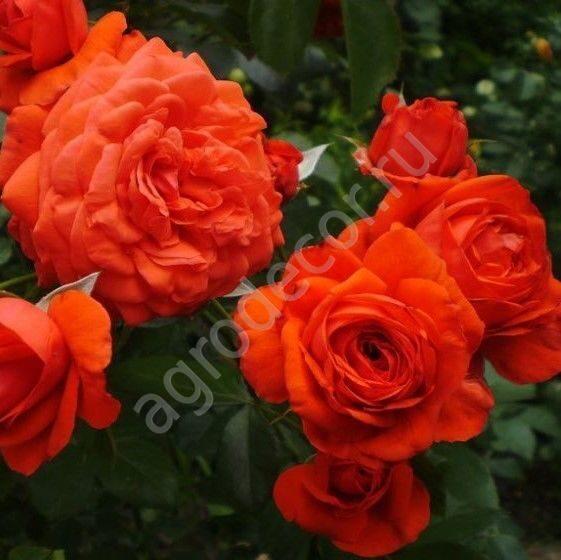 Павлиний глаз роза плетистая